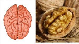 cerveau, noix