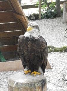aigle canard