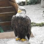 L'aigle et le canard