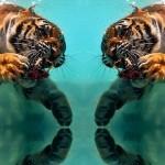 Les tigres et le renard
