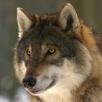 Histoire du petit loup qui volait tout ce qu'il pouvait…