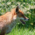 Le renard sans pattes