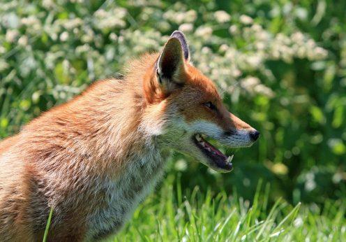 la renard sans pattes